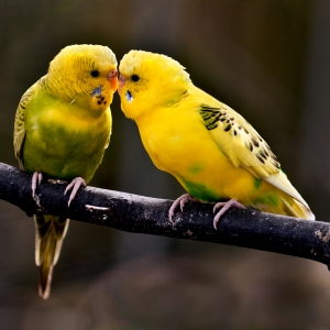 Kissing Love Birds