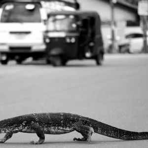 Lizards Crossing